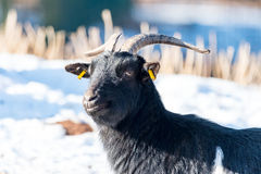 Goat on a meadow with blurred snowy background Royalty Free Stock Photos