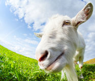 Goat on the meadow Royalty Free Stock Images