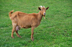 Goat on meadow Royalty Free Stock Photos