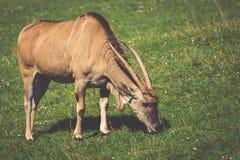 Goat in meadow. Goat herd Stock Images