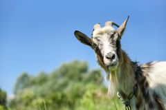 Goat on the meadow, grazing on the chain. Stories about rural life in Ukraine Royalty Free Stock Image