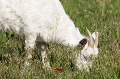 Goat on the meadow grazing Royalty Free Stock Images