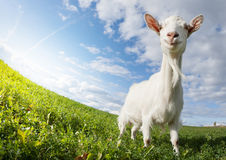 Goat on the meadow Stock Image