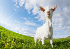 Goat on the meadow Royalty Free Stock Image