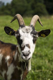 Goat on the meadow Stock Images
