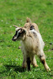 Goat in meadow. Royalty Free Stock Photo