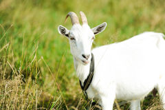 Goat on a meadow. Horned goat on a green meadow Royalty Free Stock Image