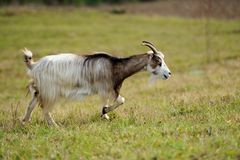 Goat in meadow Stock Photography