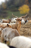 Goat in meadow Royalty Free Stock Photos