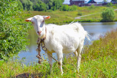 Goat on a meadow Stock Photography