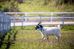 Goat in a meadow near fence Stock Photo