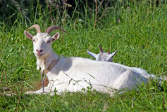 Goat in the meadow Stock Image