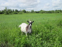 Goat in meadow Royalty Free Stock Images