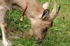 Goat in meadow. Royalty Free Stock Images