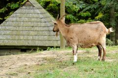 Goat in meadow. Royalty Free Stock Photography