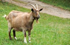 Goat in meadow. Stock Photography