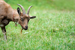 Goat in meadow. Stock Photo