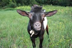 Goat in the meadow. Surprised black goat in the meadow Stock Photos
