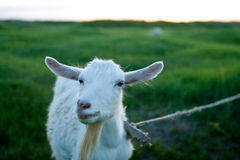 Goat meadow Stock Photography