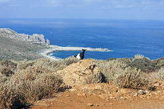 A goat between the Mediterranean scrub stock photos