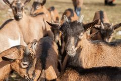 Group of young brown goats. stock image