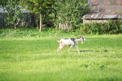 Goat. Met in village of Lithuania Royalty Free Stock Photos