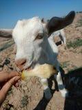 Goat. Mexico Apple Royalty Free Stock Photos