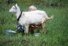 Goat milking Royalty Free Stock Image