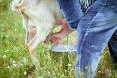 Goat milking in farm Royalty Free Stock Photos