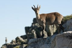 Goat Montés Ibérica, Capra pyrenaica, on top of the rock, group. Goat Montés Ibérica, Capra pyrenaica, Iberian Ibex, Spain, on top of the rock, group royalty free stock photo