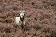 Goat on the moor Stock Images