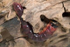 Goat moth, Cossus cossus larva on wood. Macro photo of a goat moth, Cossus cossus larva on wood. This insect belongs to the Cossidae family. The larva can often Royalty Free Stock Photography