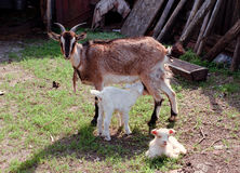 Goat mother and baby. Goat mother taking care of her baby Royalty Free Stock Photos