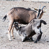 Goat mother and baby Stock Images