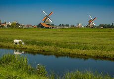 Goat mother and baby in windmill fields. Netherlands Royalty Free Stock Image