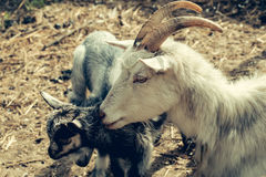 Goat mother with cute kids Stock Image