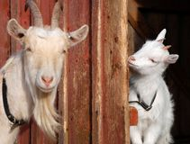 Goat mother and daughter Royalty Free Stock Photos