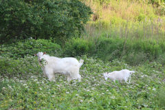 Goat mother and daughter Stock Photography