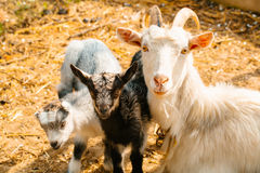 Goat mother with kids Stock Image