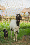 Goat. Mother goat in Nan Thailand Royalty Free Stock Photos