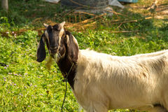 Goat. Mother goat in Nan Thailand Royalty Free Stock Photo