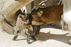 Goat mother with newborn kid. Dwarf goat mother cleaning its newborn kid Stock Photography