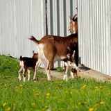 Goat mother and small goat Stock Images