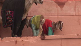 Goat mother with two little goatling in Varanasi, India stock video