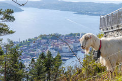 Goat at Mount Floyen. Goat looking over the city of Bergen at Mount Floyen Royalty Free Stock Photography