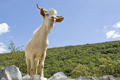 Goat in mountain. Royalty Free Stock Photos