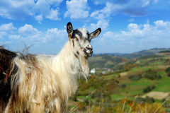 Goat in mountain Stock Photos