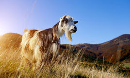 Goat in mountain Royalty Free Stock Images
