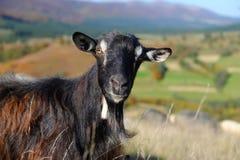 Goat in mountain. Autumn season Royalty Free Stock Images