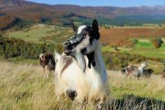 Goat in mountain. Autumn season Stock Image